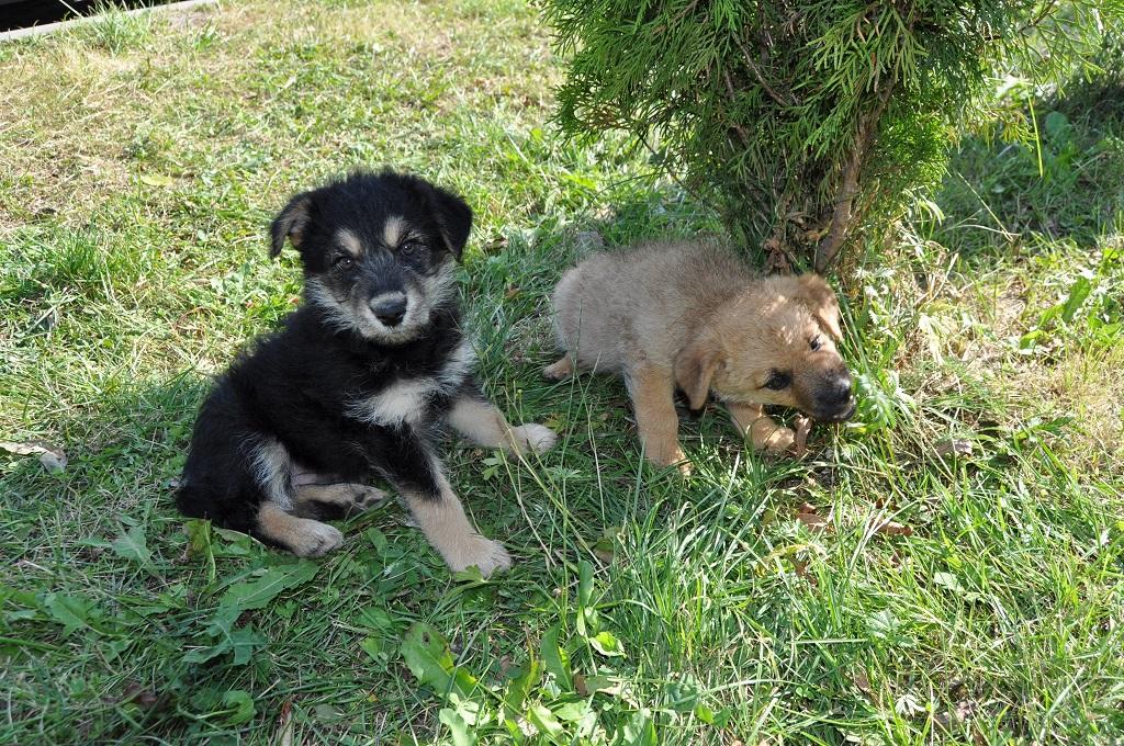 dwa szczeniaki na trawie